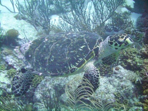 Pieces of Eight - Pieces of Eight (Hawksbill Turtle)