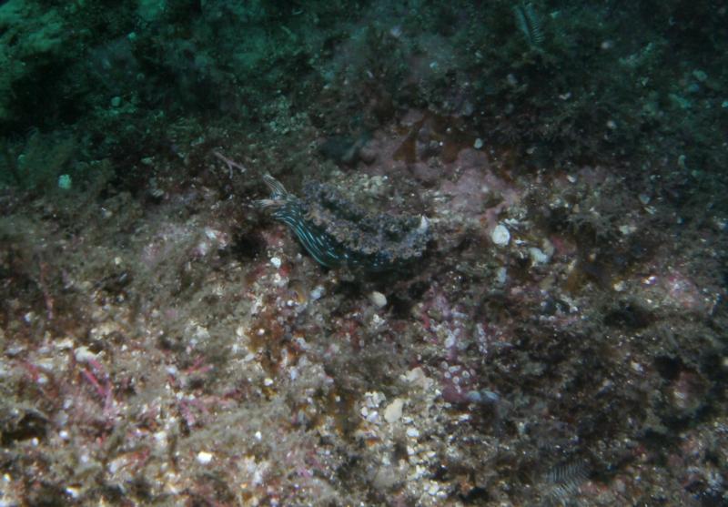 Virador - Nudibranch at Virador