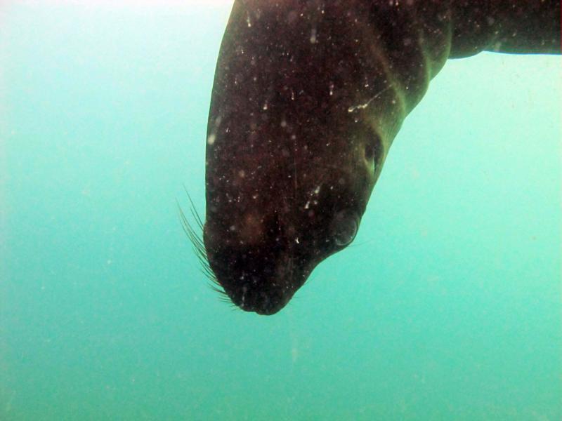Puerto Madryn - Sea lion diving