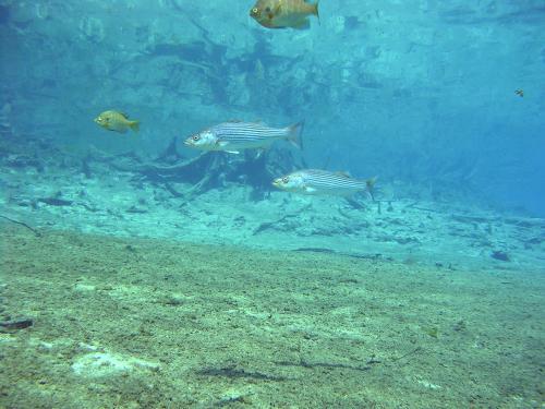 Morrison Springs - Striped Bass
