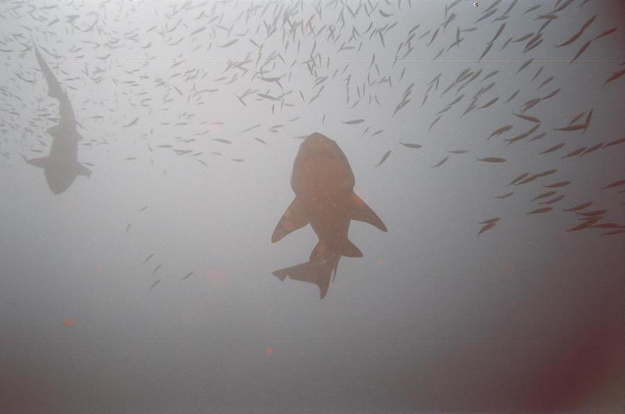 USS Aeolus - Sand Tiger sharks