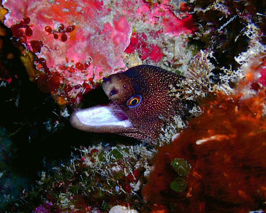 """The Maze - Spotted Moray says """"Hey!"""""""