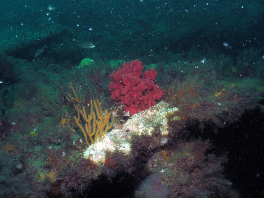 Shark Barge Reef - Lots of reef life