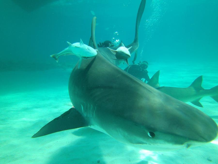 Tiger Beach - Tiger shark