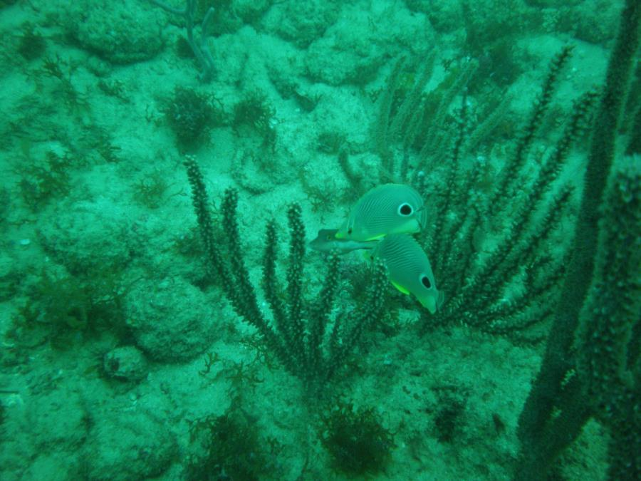 Tony's Reef - 4 eye butterfly pair