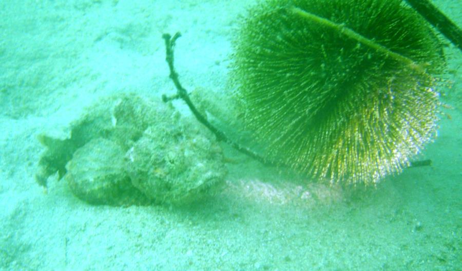 Sharp Island - Decorator Crab and Scorpion Fish