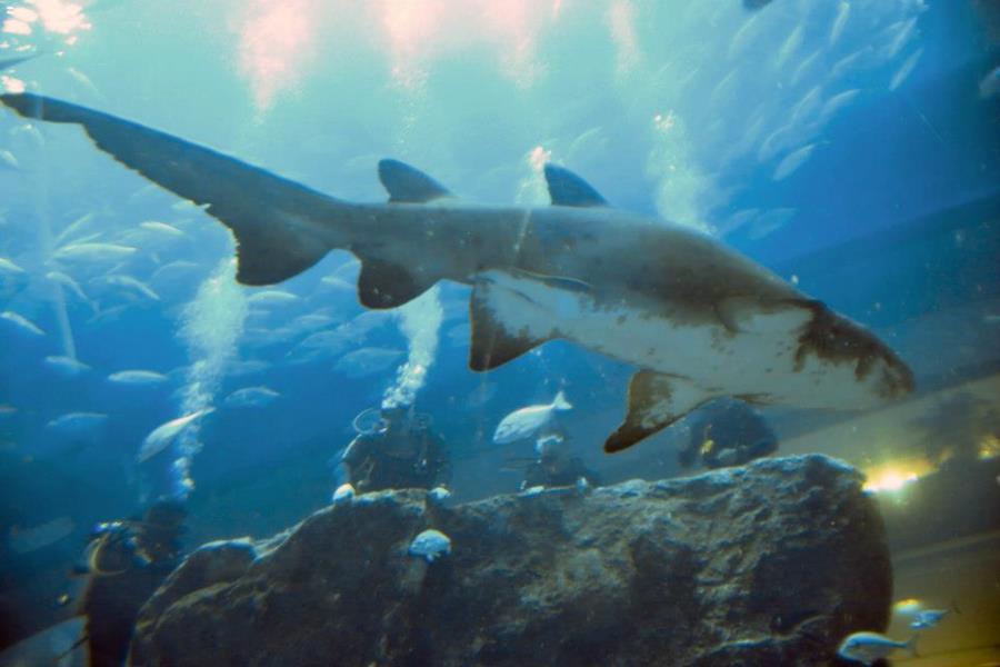 Dubai Aquarium - Dubai Aquarium Sand Tiger