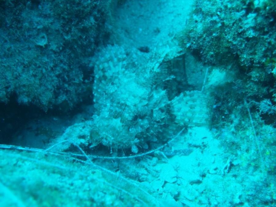 The Anchor - Scorpionfish
