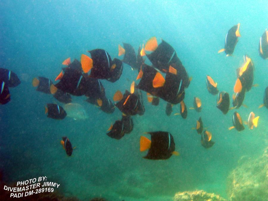 Martini Cove - Passer Angel fish