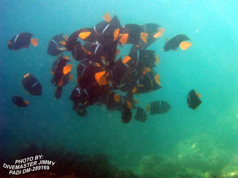Martini Cove - Passer Angel Fish a.k.a king angels