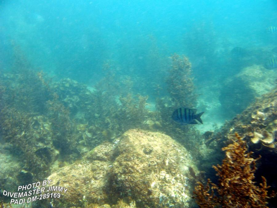 Martini Cove - Sargent Major Fish