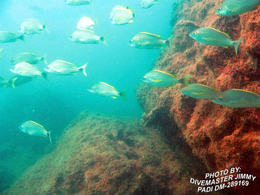Martini Cove - Spotted Tailed Striped Sea Bass p2