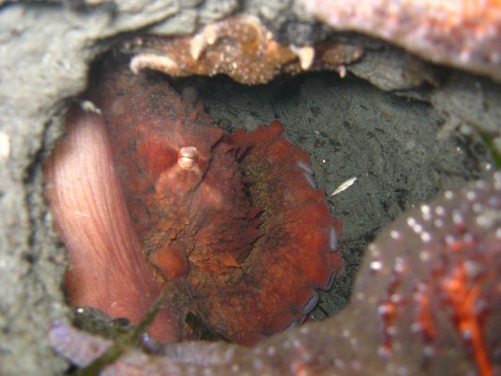 Mukilteo Lighthouse Park (formerly state park) - Giant Pacific Octopus