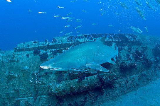 shark on the u352