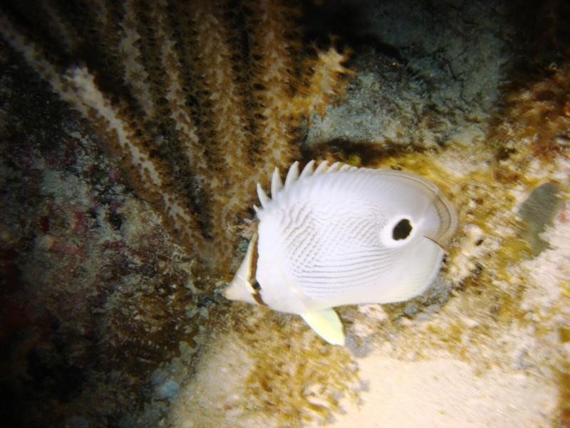 Spotted Butterfly Fish