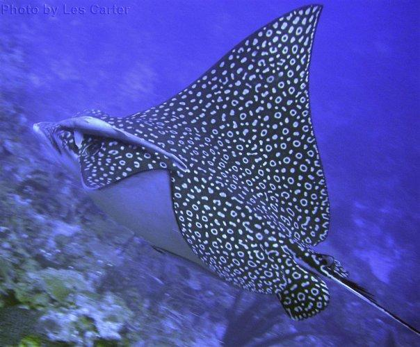 Spotted Eagle Ray  Belize