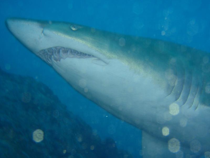 Grey Nurse shark ( cod Grounds NSW)