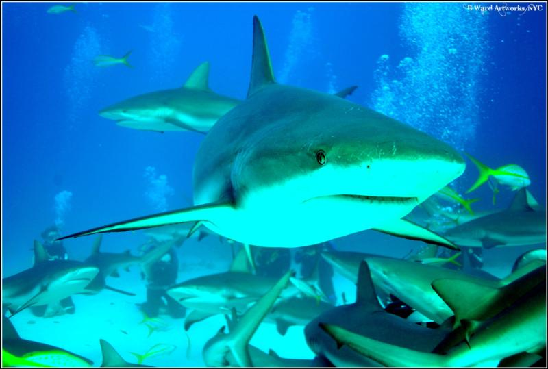 shark dive in the bahamas