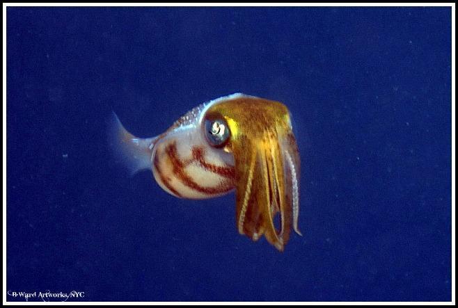 Caribbean Squid off Utila