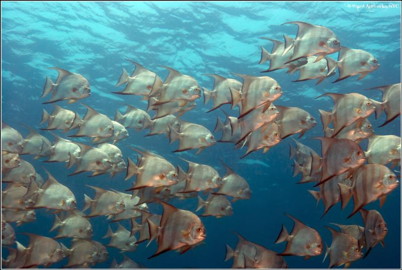 Spadefish School