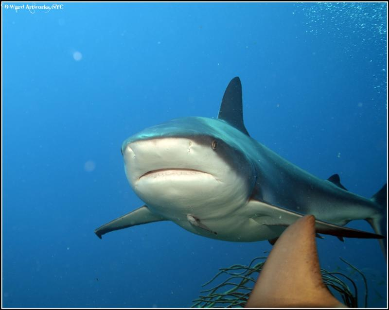 Shark Feed Bahamas