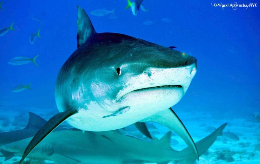 Tiger Shark @ Tiger Beach, Bahamas 2013