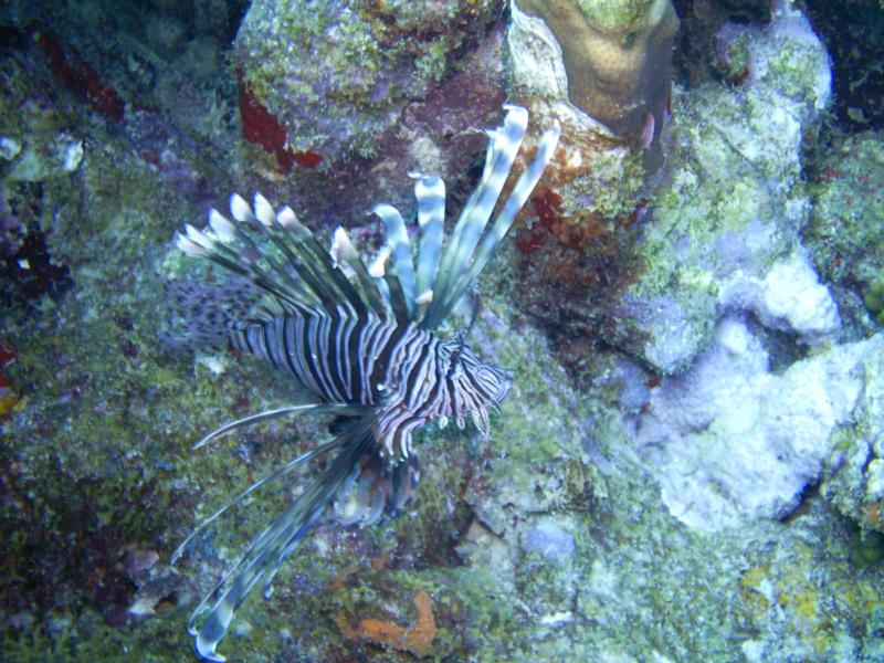 lion fish Aruba