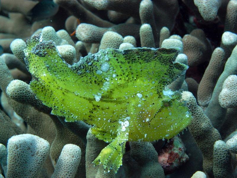 Yellow Leaf Scorpionfish