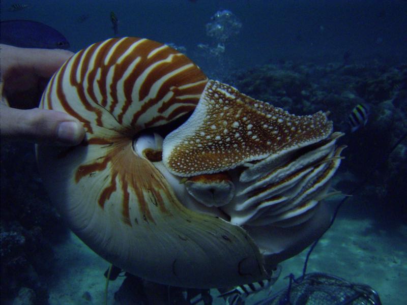 Nautilus in Palau