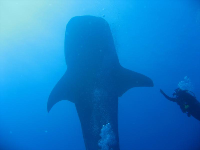 Whale Shark doin the high five with wife Lynne