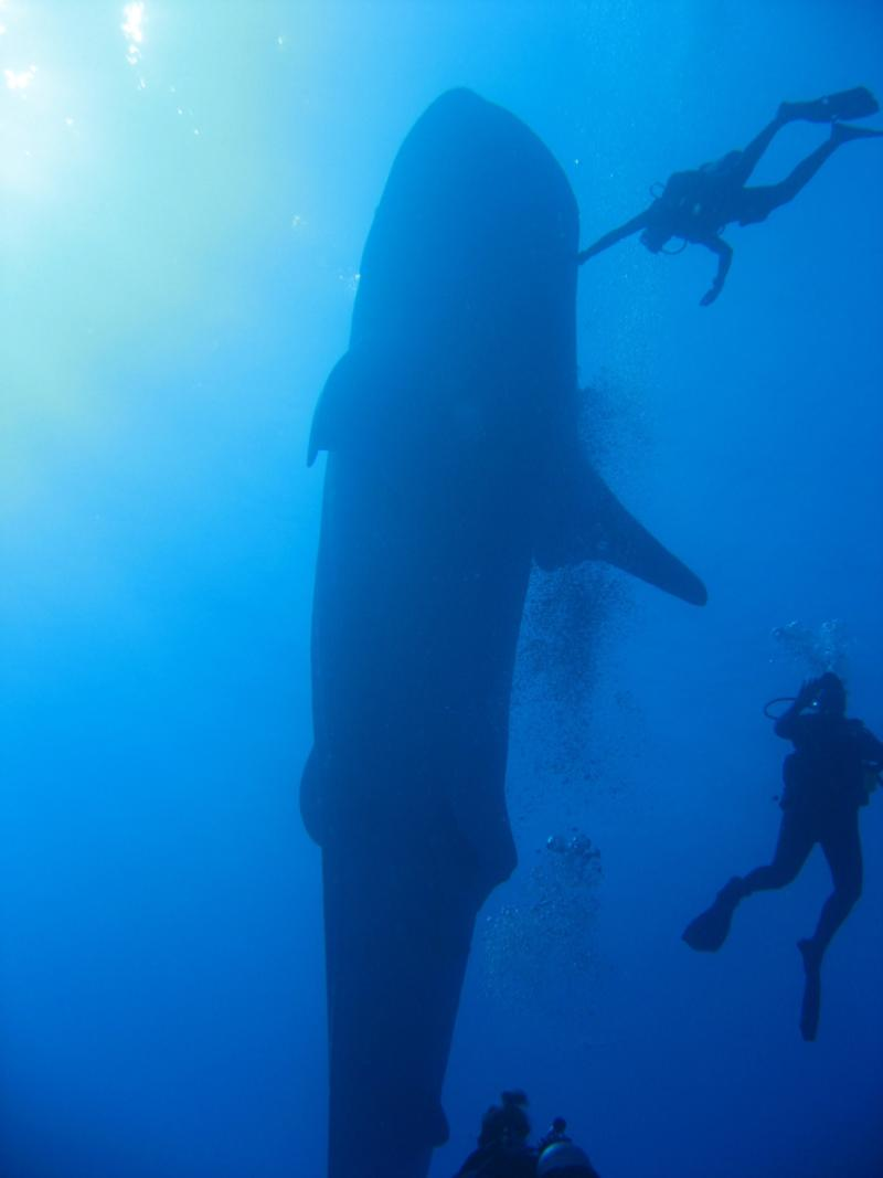 Whale Shark with divers in Kona, HI
