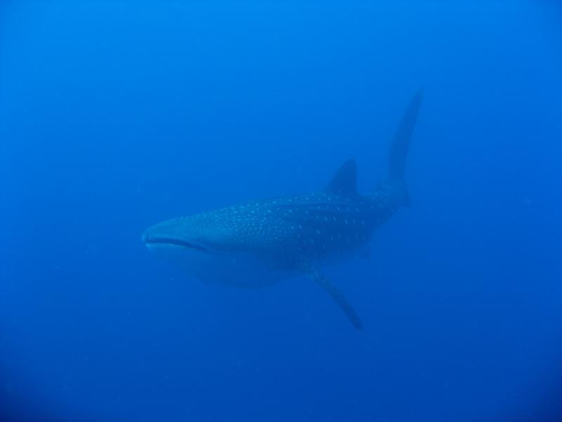 Whale Shark in Kona, HI Dec 29 2009