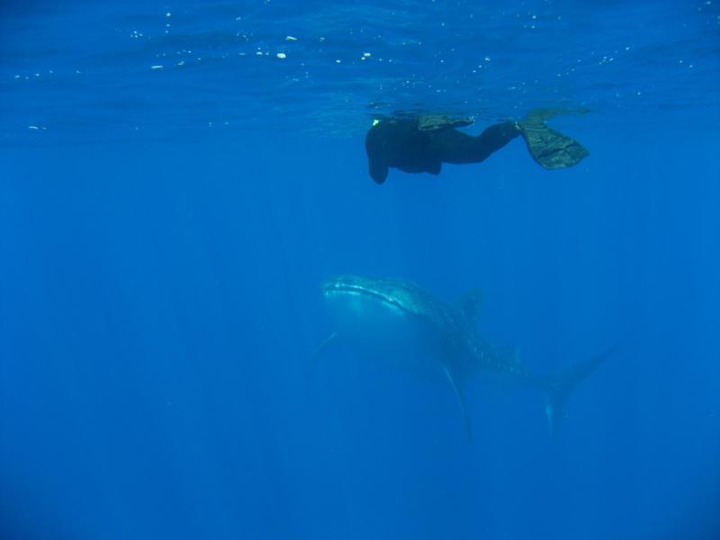 2nd Whale Shark (female) in Kona, HI