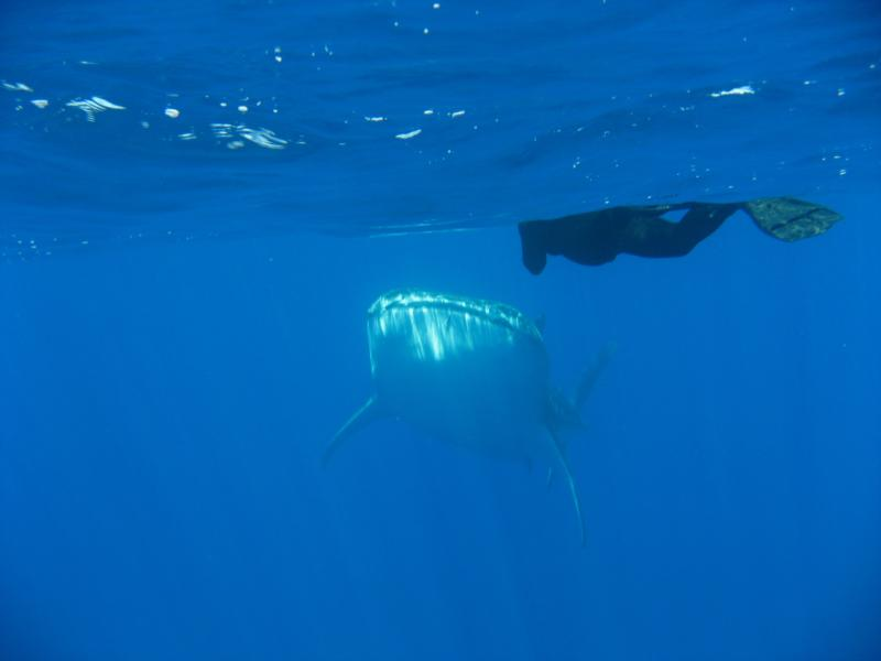 Whale Shark & wife getting to know one another