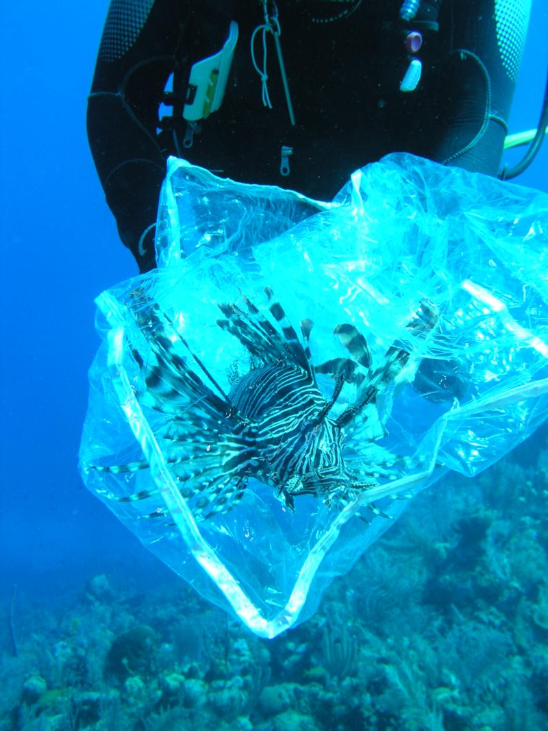 Lionfish's last day, Cayman 3/2010