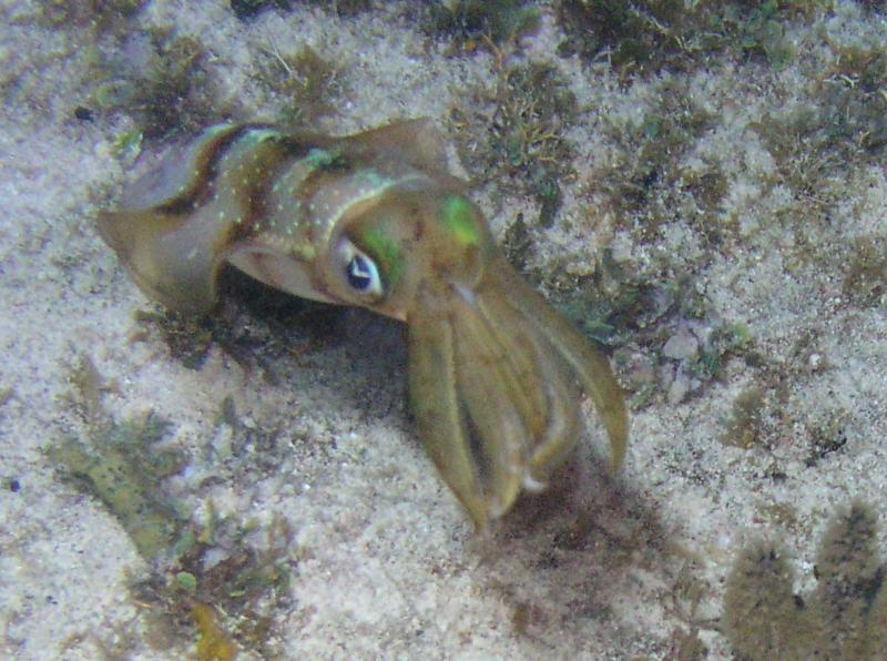 Squid at Cobalt Coast beach, GC 3/2010
