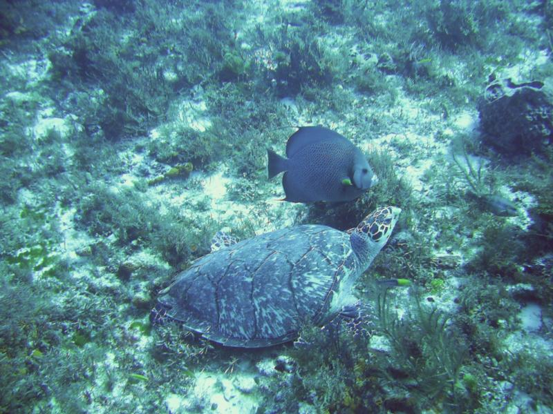 Turtle and Grey Angelfish at Cedron Pass, Cozumel