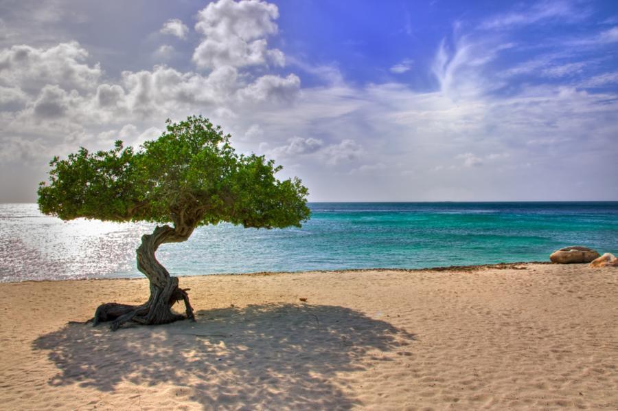 Aruba's Eagle Beach Fofoti Tree