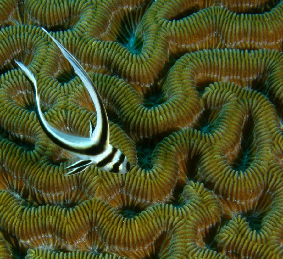 Juvenile Spotted Drum on Brain Coral