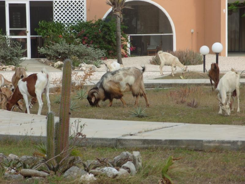 Bonaire's verison of deer outside Sand Dollar Condos