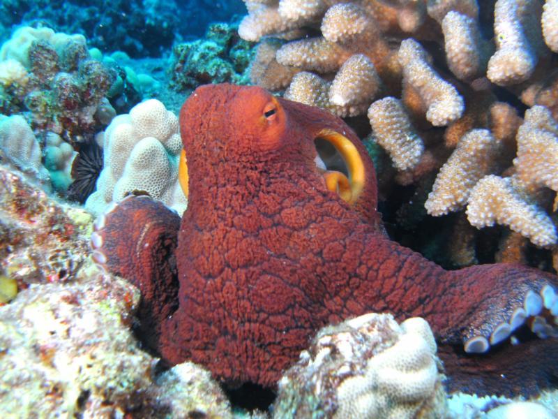 Day Octopus, Kona, Hawaii 2011