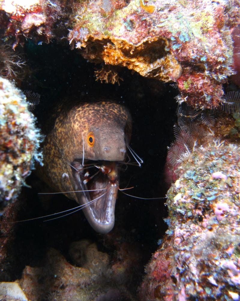 Yellow Margin Moray with Banded Coral Shrimp, Kona, Hawaii 2011