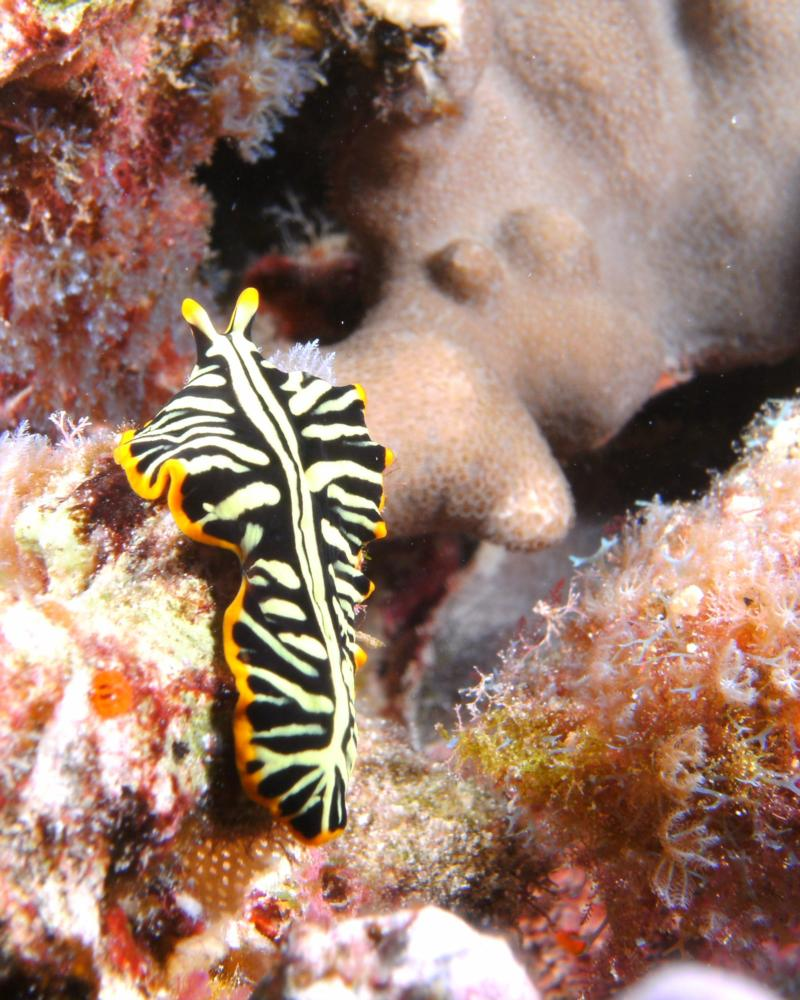 Divided Flatworm, Kona, Hawaii 2011