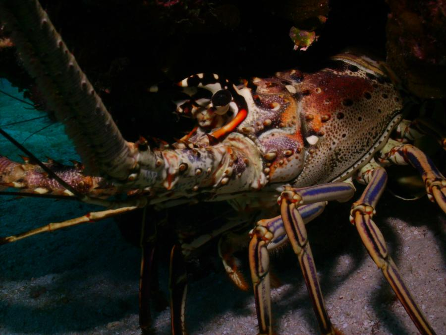 Spiny Lobster, Grand Cayman (2009)