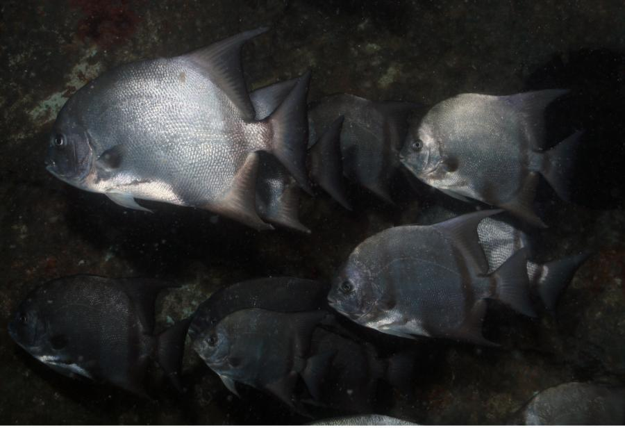 Atlantic Spadefish, North Carolina (2010)