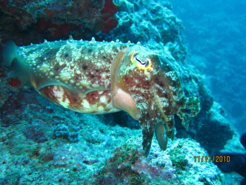 Cuttlefish at Horse Shoe Beach
