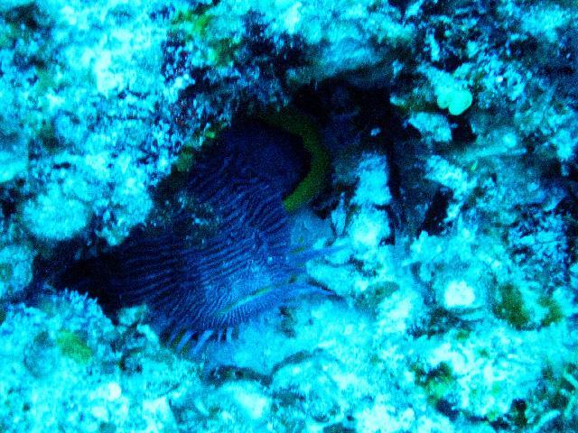 Toadfish Coz. Mx