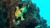 A frogfish at Turtle Canyon, Hawaii