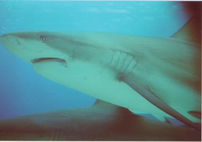 Bahamas Shark Just Passing Through