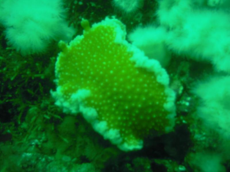 Nudibranch BC